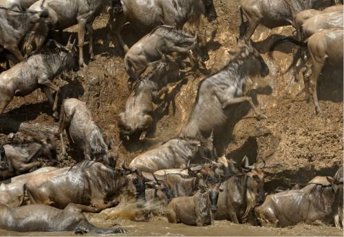 Calving of Wildebeest Adventure