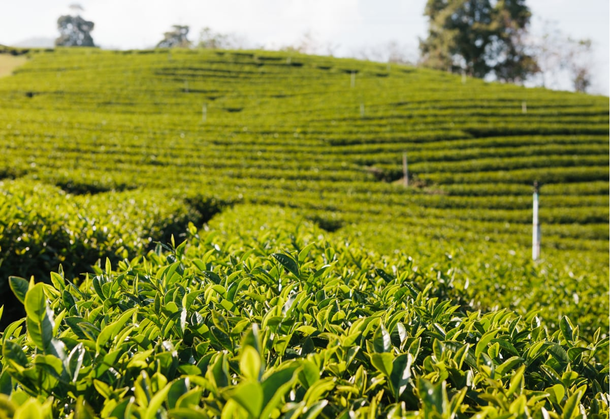 Full Day Visit to Kiambethu Tea Farm